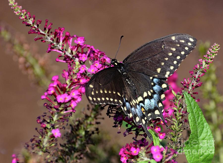 Black Swallowtail And Pink Butterfly Bush Photograph