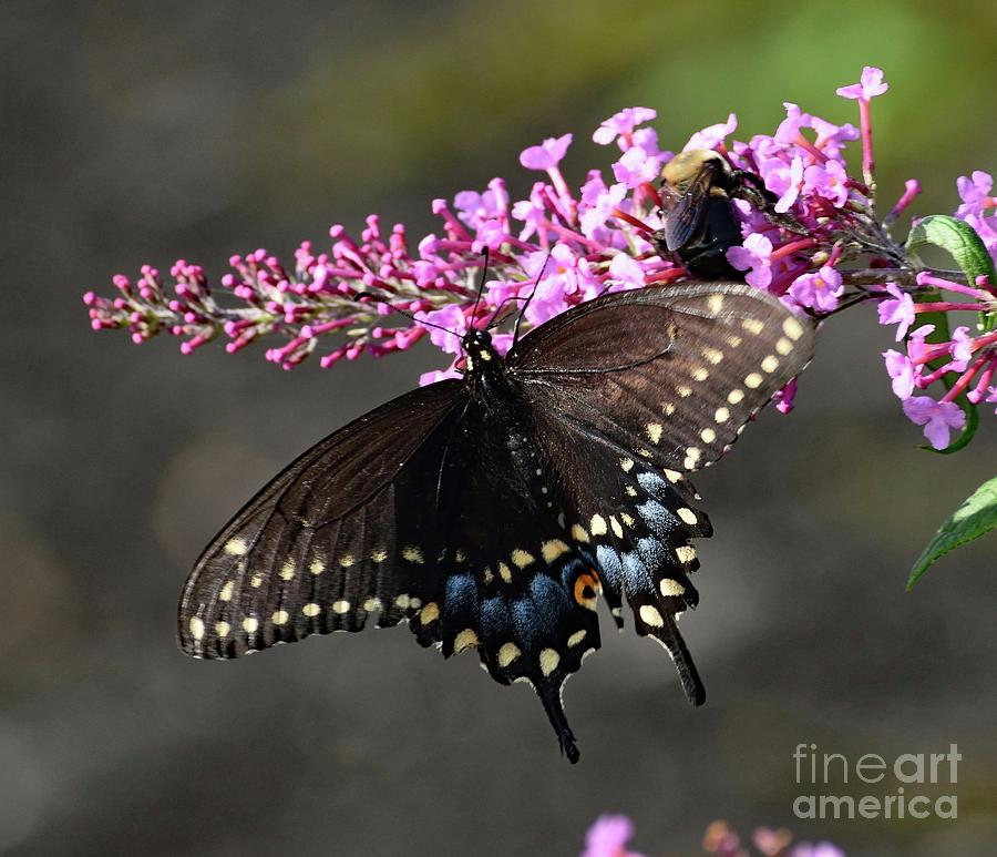 Black Swallowtail And The Bee Photograph