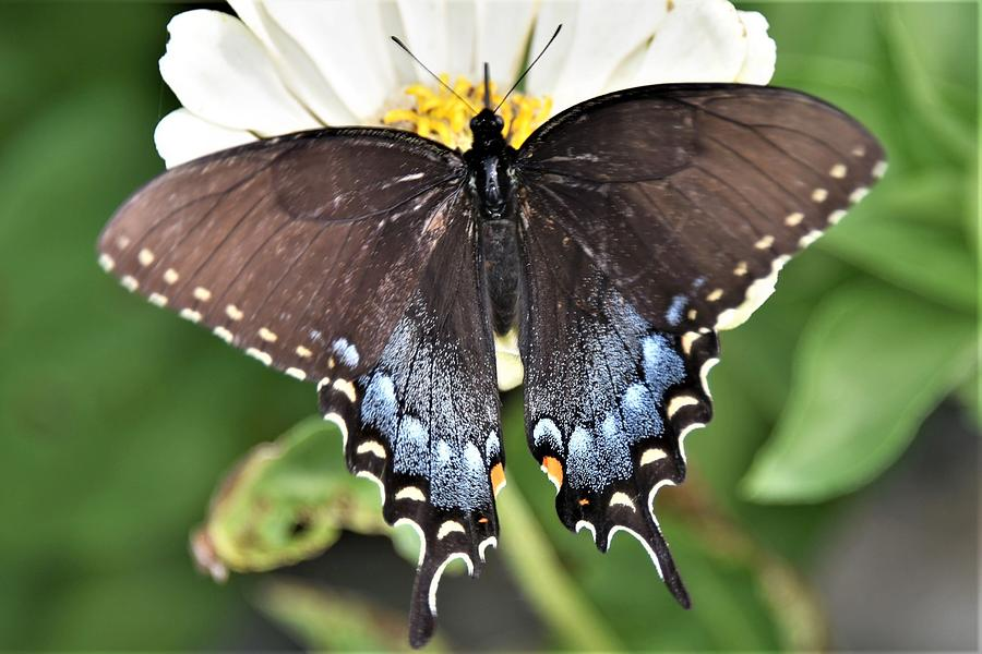 Black Swallowtail Beauty by Kim Bemis