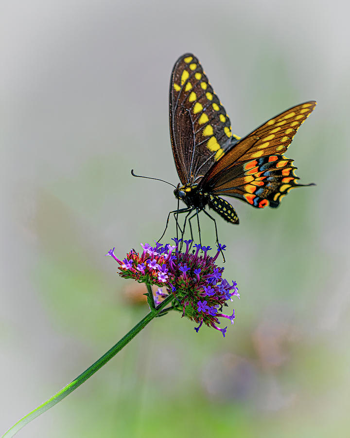 Black Swallowtail by Chris Lord
