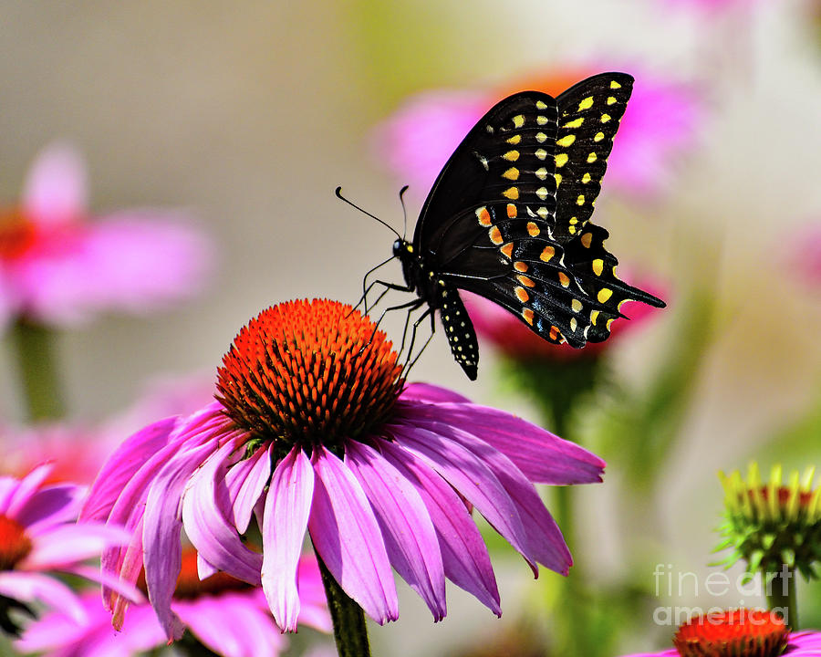 Black Swallowtail Feasting On A Coneflower Photograph