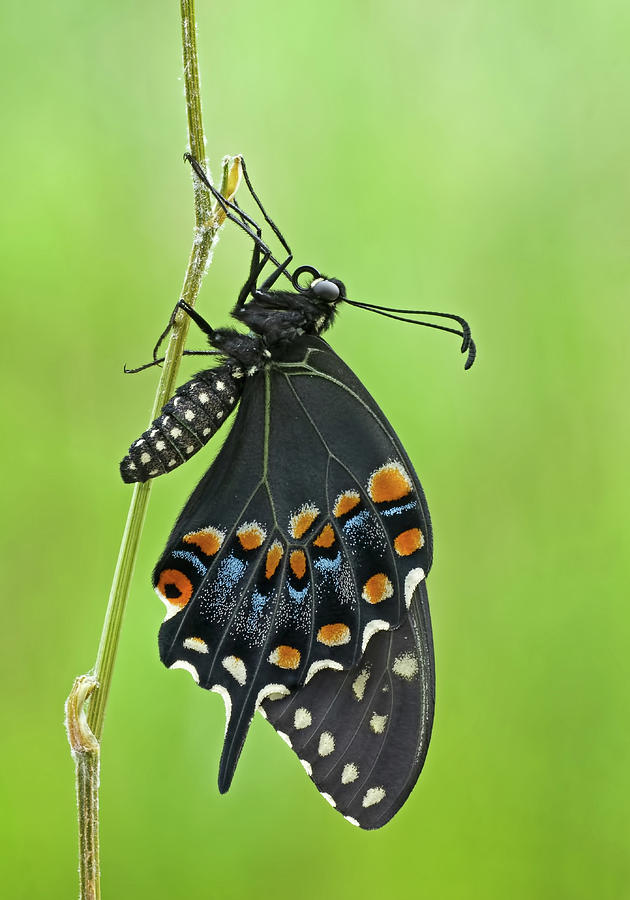 Black Swallowtail by Jim Zablotny