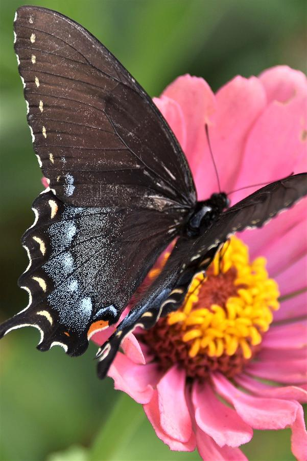 Black Swallowtail on Pink Flower by Kim Bemis