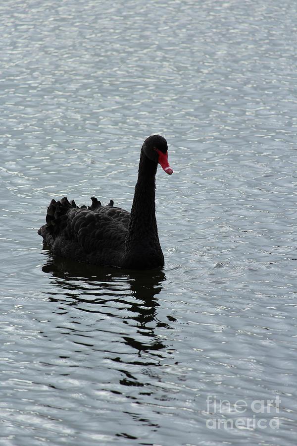 Black Swan Donegal Ireland by Eddie Barron
