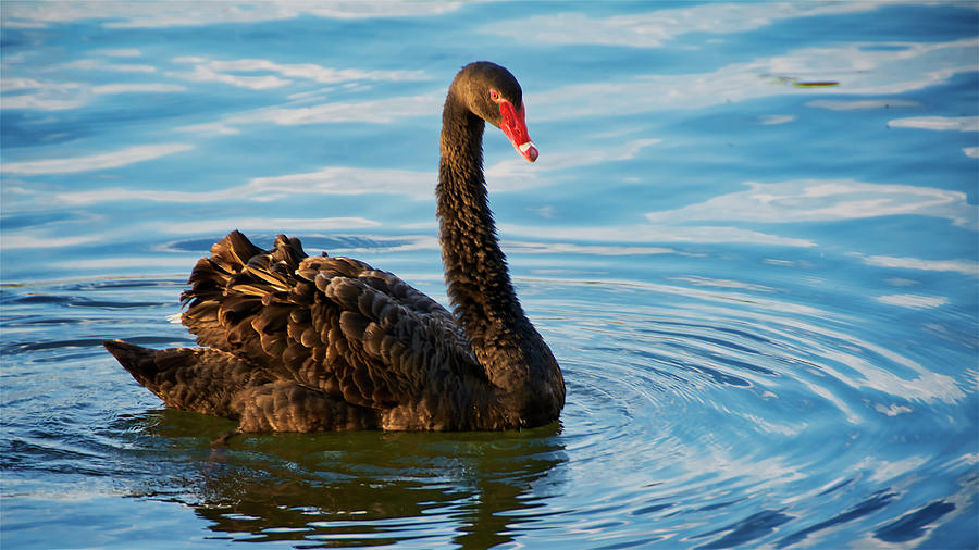 Black Swan Making Ripples  by Flying Z Photography by Zayne Diamond