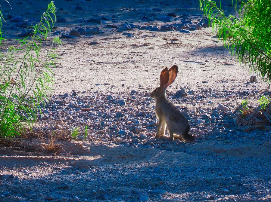 Black-Tailed Jackrabbit in a Desert Wash by Judy Kennedy