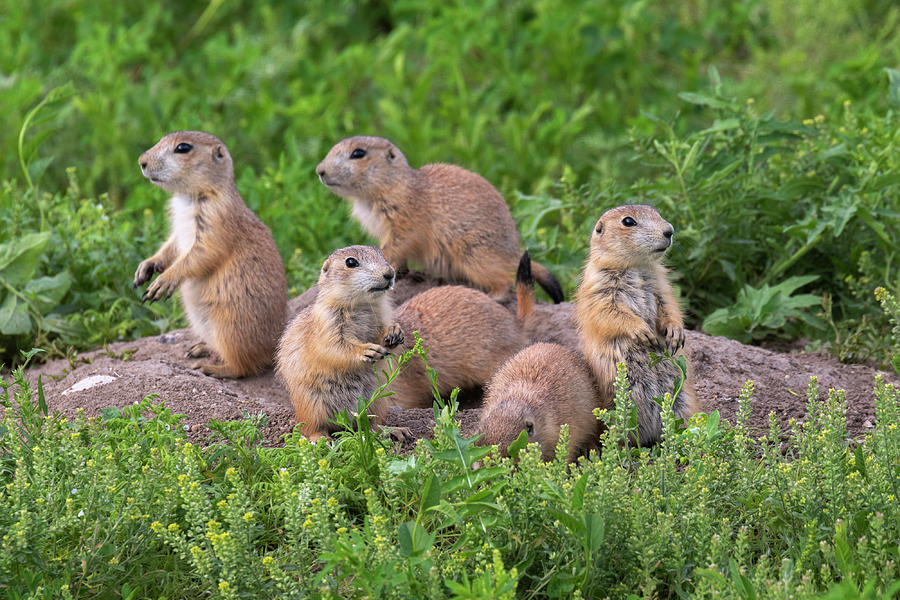 Animal Photograph - Black-tailed Prairie Dog Family by Ivan Kuzmin