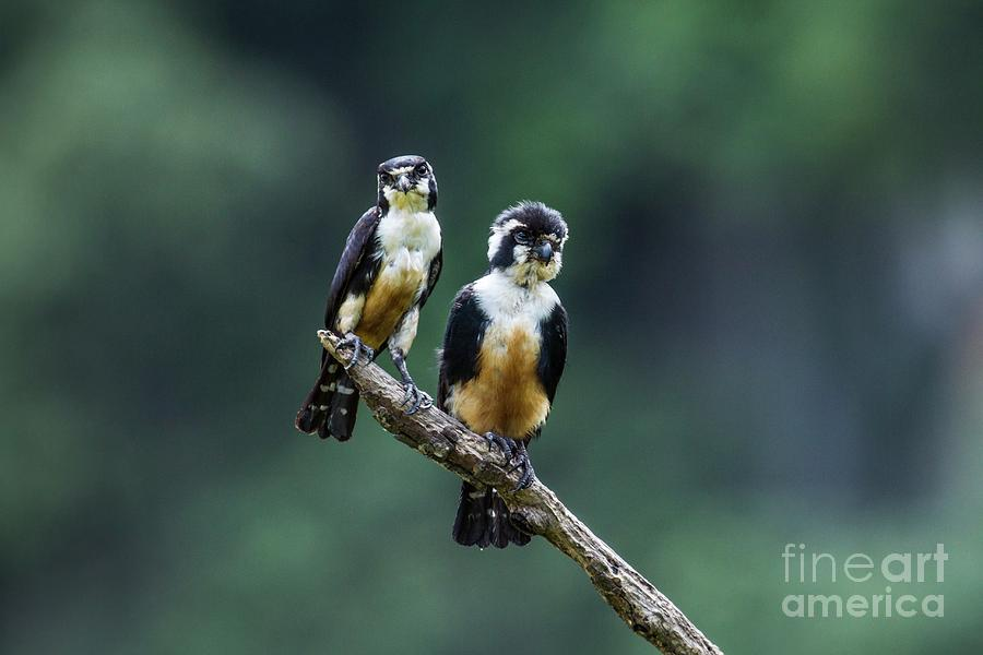 Malaysia Photograph - Black-thighed Falconets by Paul Williams/science Photo Library