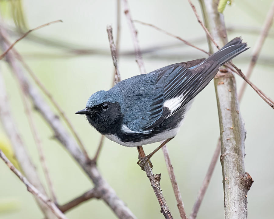 Black-Throated Blue Warbler by Jim Zablotny