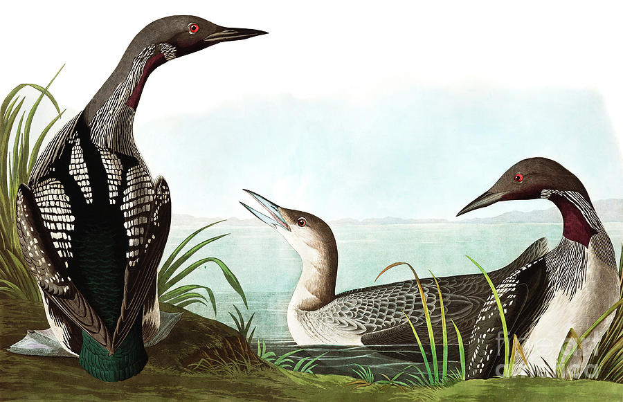 Black Throated Diver Painting - Black Throated Diver, Colymbus Arcticus By Audubon by John James Audubon