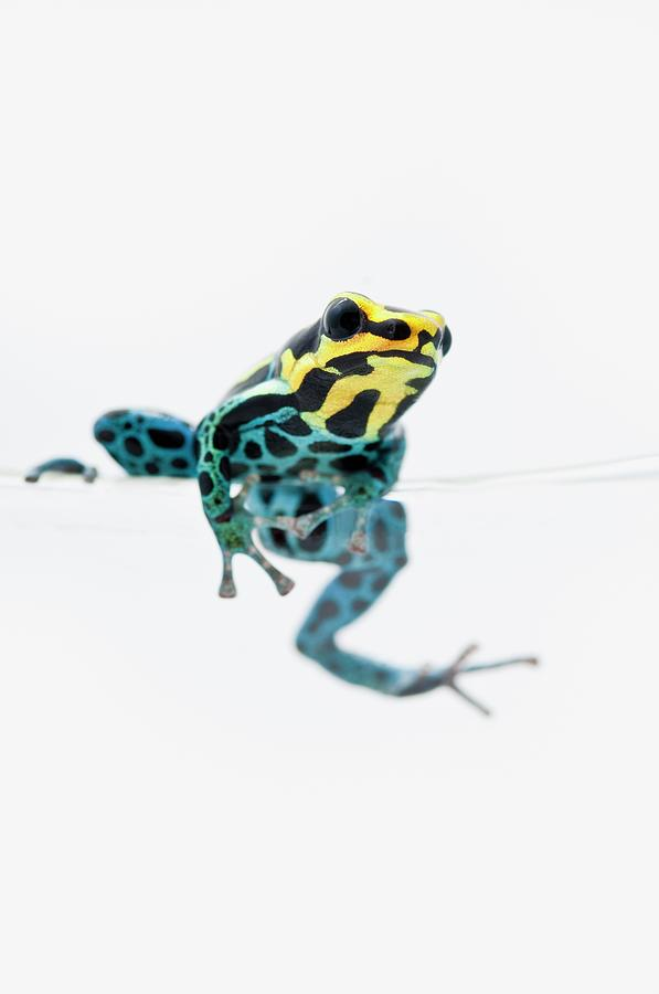 Black, Yellow And Blue Poison Dart Frog Photograph by Design Pics / Corey Hochachka