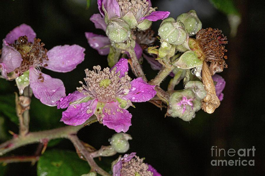 Blackberry flower wet by Brian Roscorla