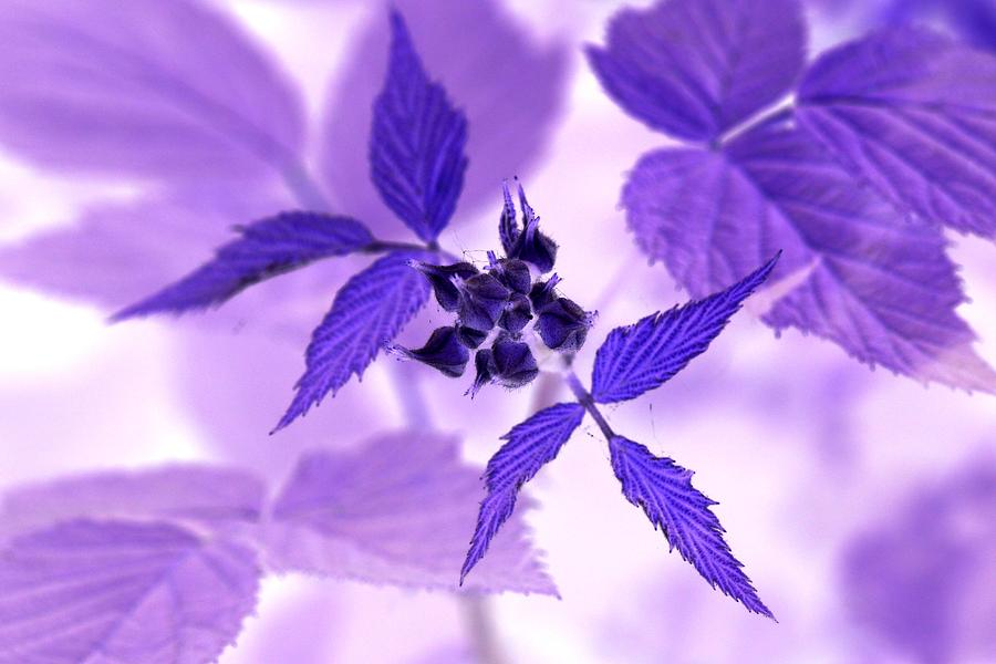 Blackberry in Lavender Negative by AJP