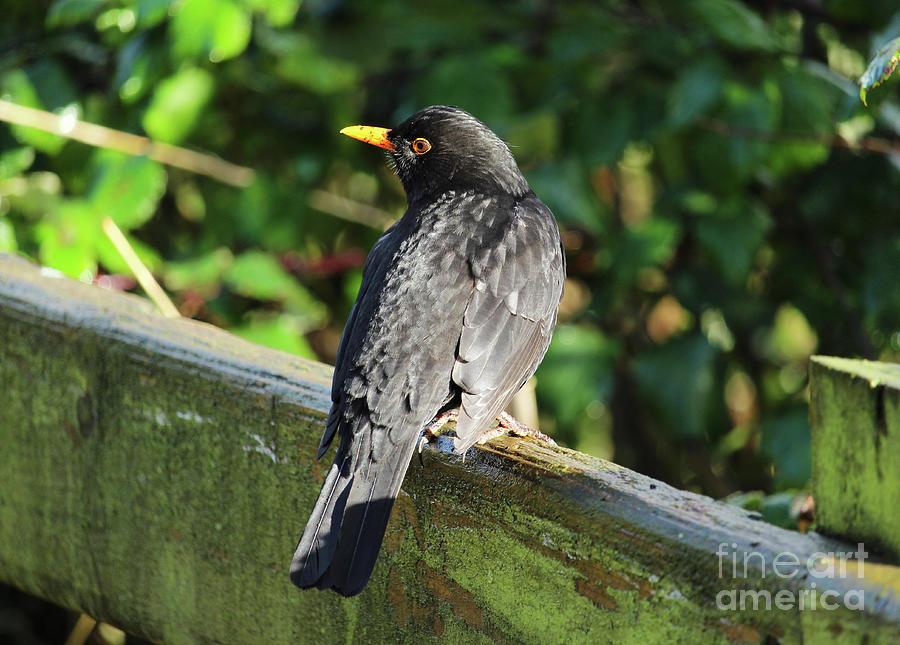 Blackbird Donegal Ireland by Eddie Barron