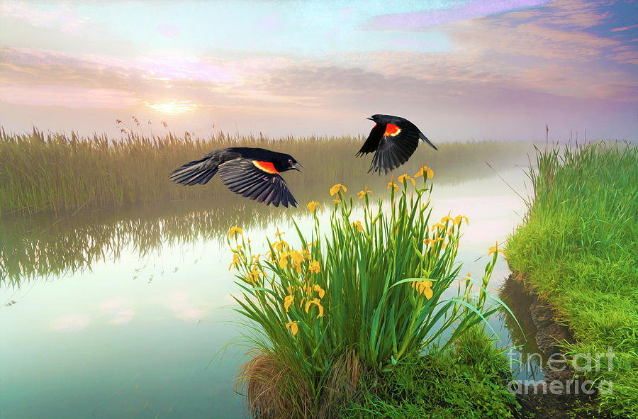 Red Winged Blackbirds Photograph - Blackbirds Dance with Iris by Laura D Young