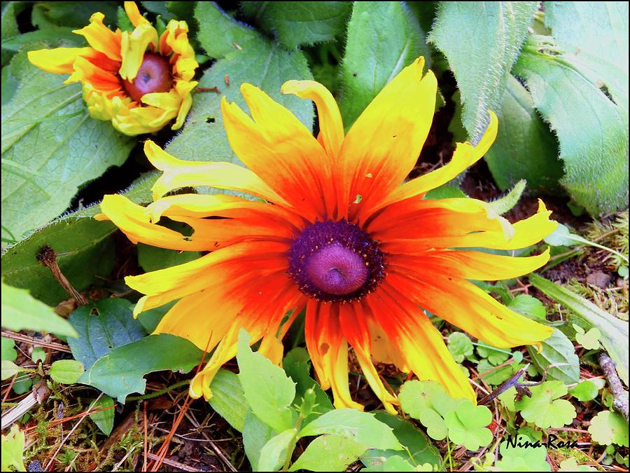 Blanket Flower by Nina-Rosa Duddy