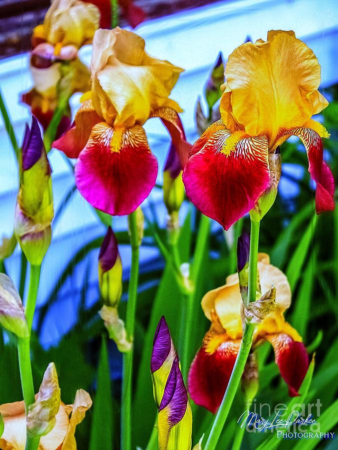 Blatant Iris by MaryLee Parker