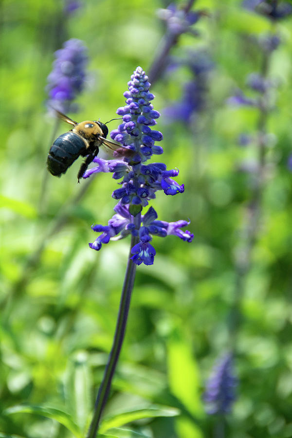 Blazing Star Plant With Bee Photograph