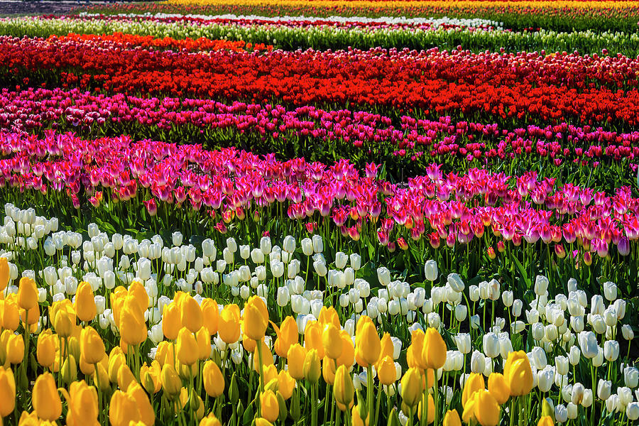 Tulip Photograph - Blazing Tulips by Garry Gay