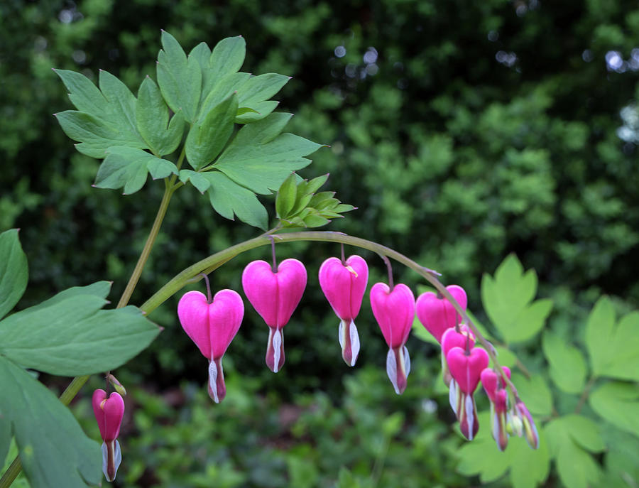 Bleeding Heart by Chris Berrier