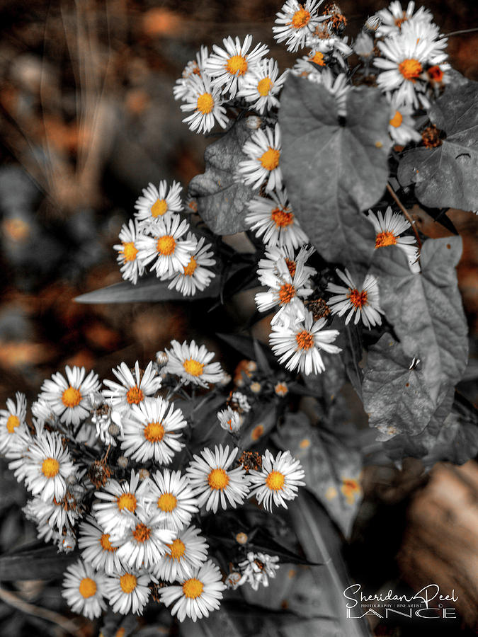 Blended Daisy's by Lance Sheridan-Peel
