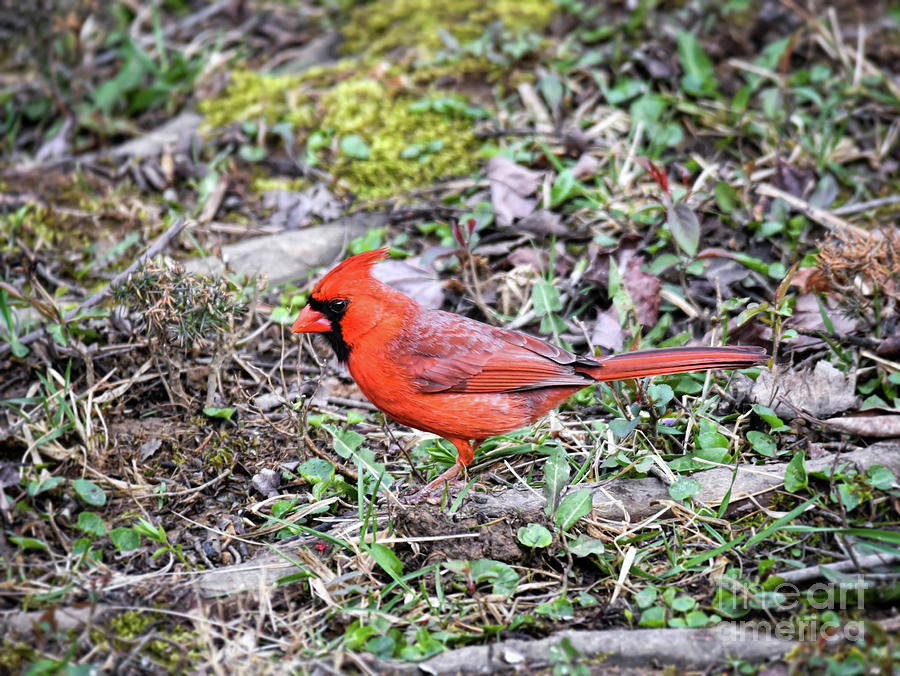 Blessed By Red - Male Northern Cardinal by Kerri Farley