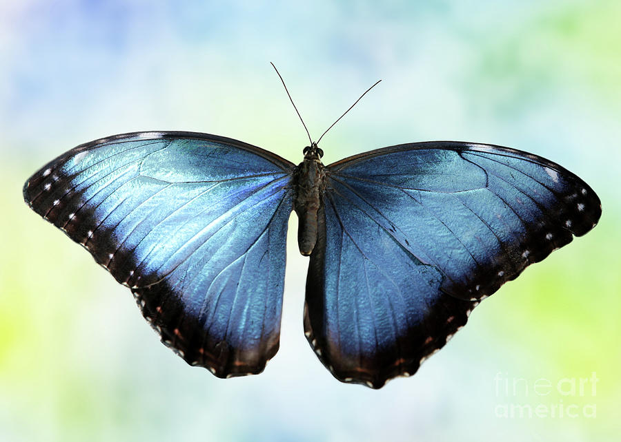 Blissful Blue Morpho Butterfly by Sabrina L Ryan