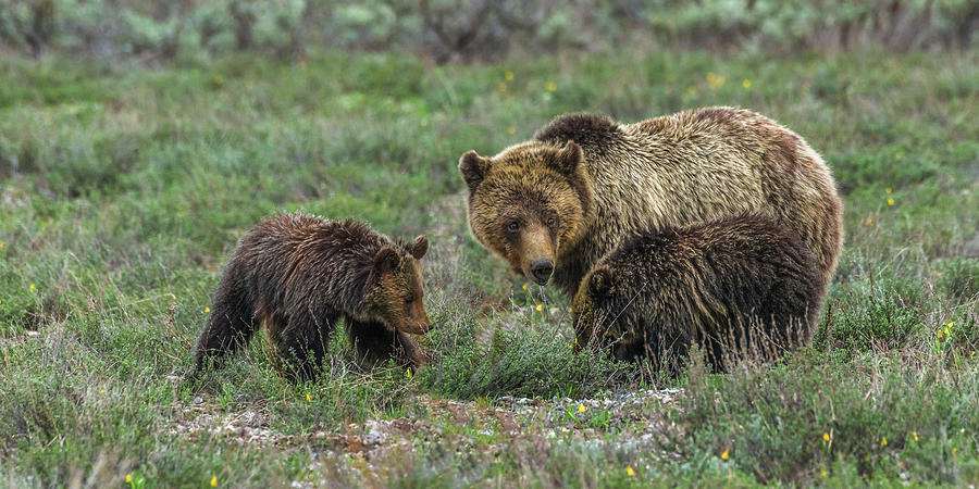 Blondie Grazing With Twins In Spring by Yeates Photography