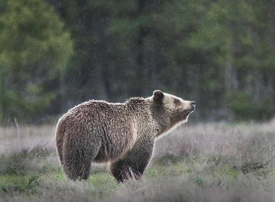 Cleveland Photograph - Blondie The Bear by Matt Shiffler