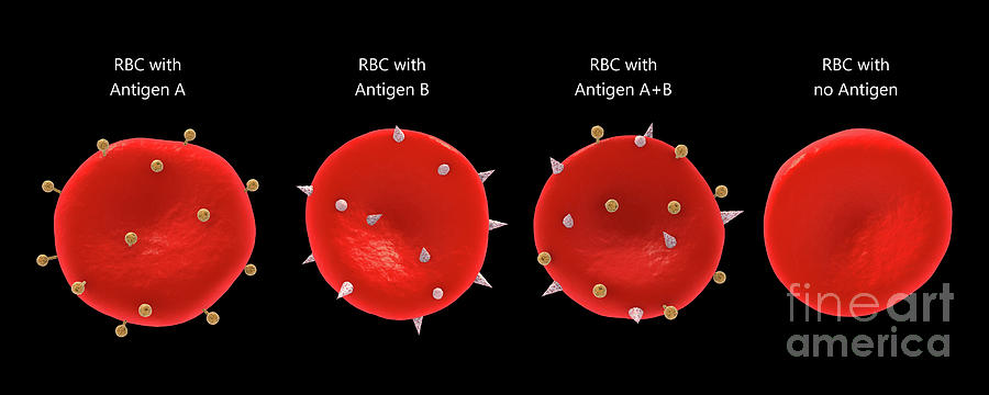 Blood group antigens on the red blood cell membrane. by Stocktrek Images