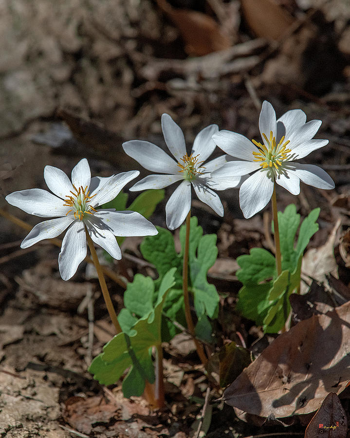 Bloodroot DFL0940 by Gerry Gantt