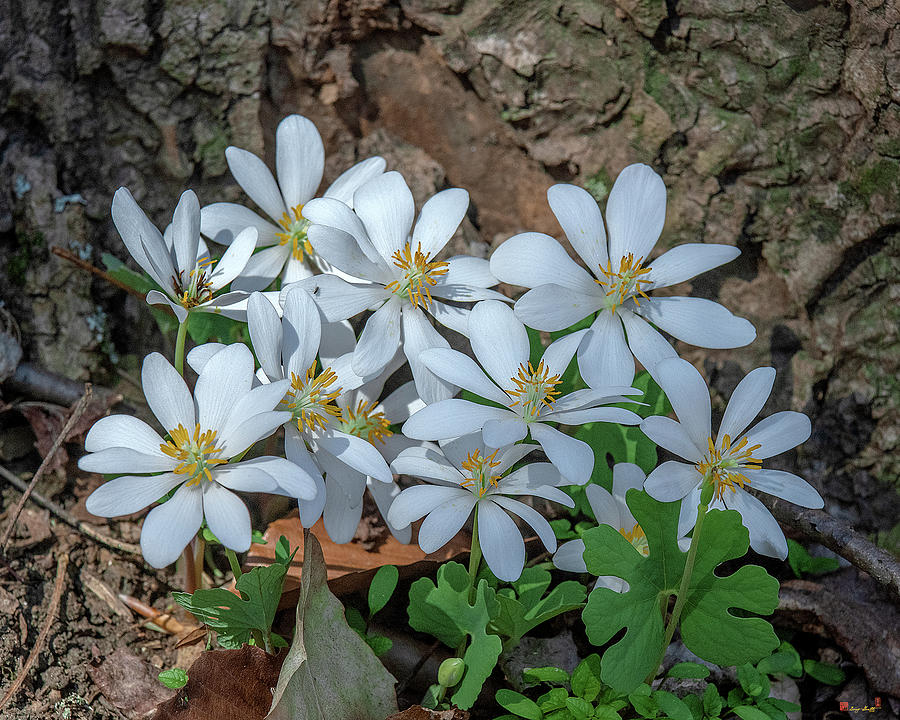Bloodroot DFL0941 by Gerry Gantt