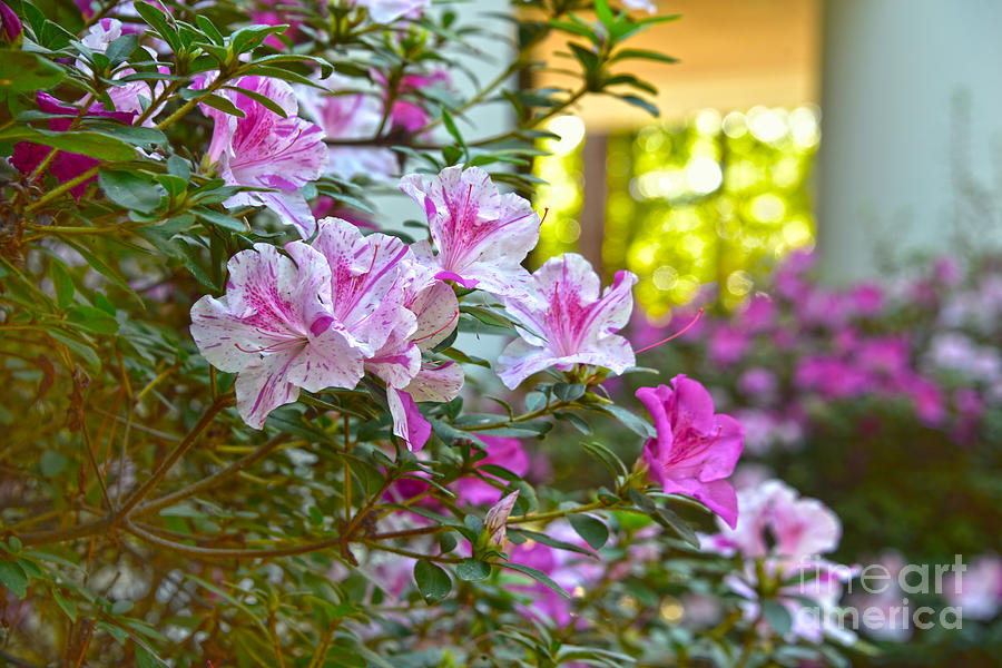 Blooming Azaleas In Texas Photograph