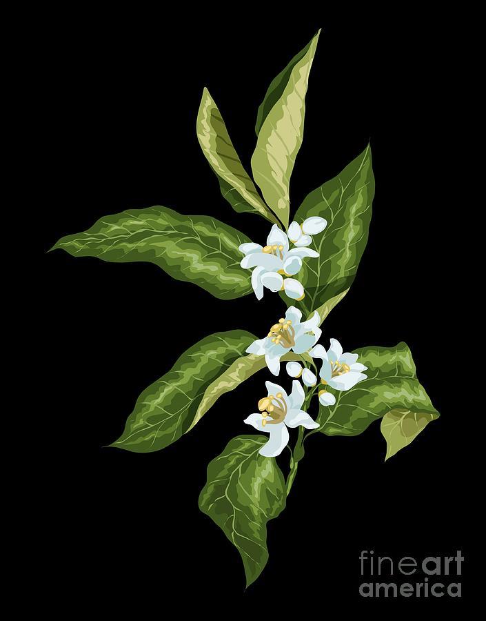 Branch Drawing - Blooming Citrus Branch by Yulia Fushtey