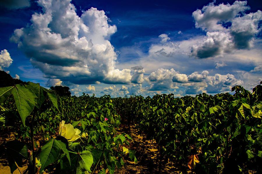Blooming Cotton  by John Harding