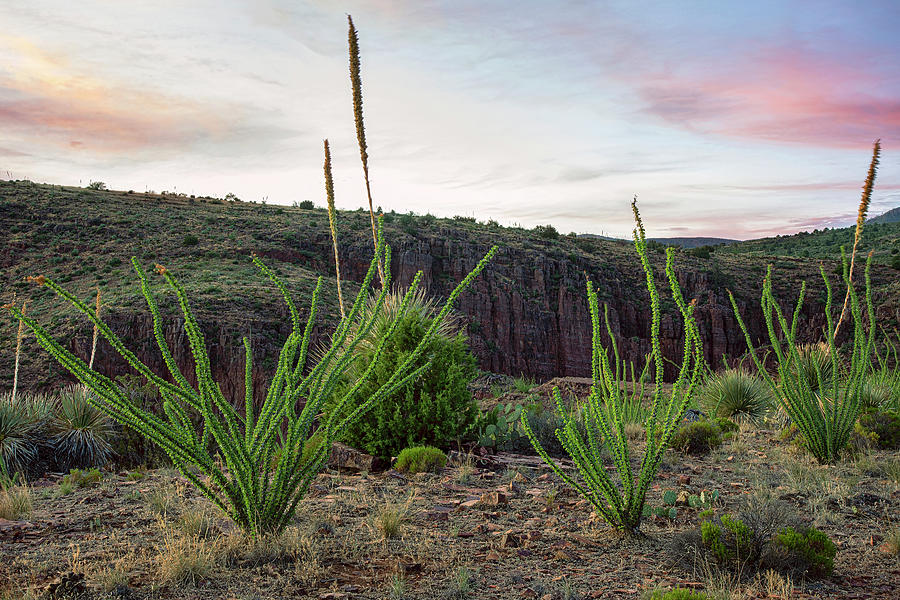 Ocotillo Photograph - Blooming Ocotillo At Sunset In Arizona by Dave Dilli