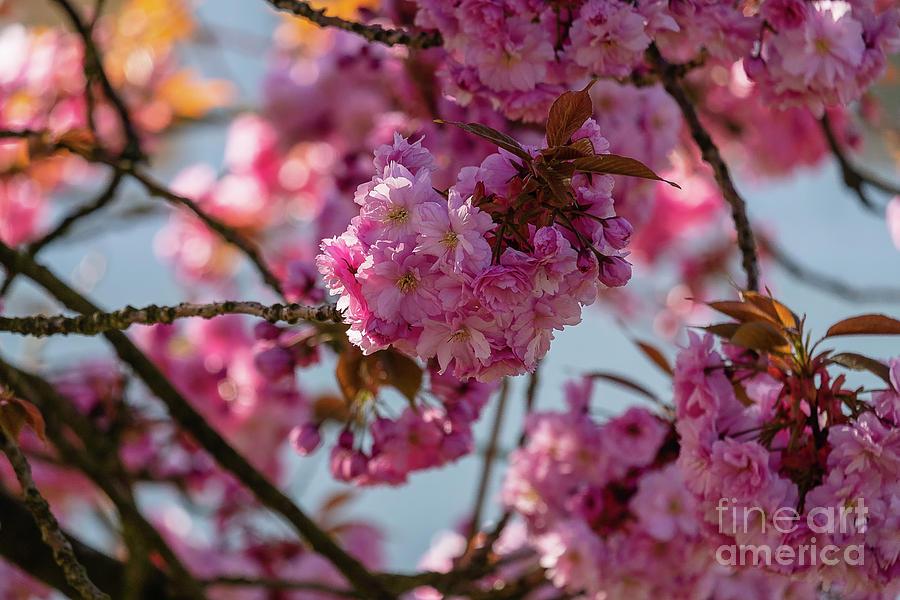Blooming pink sakura by Marina Usmanskaya