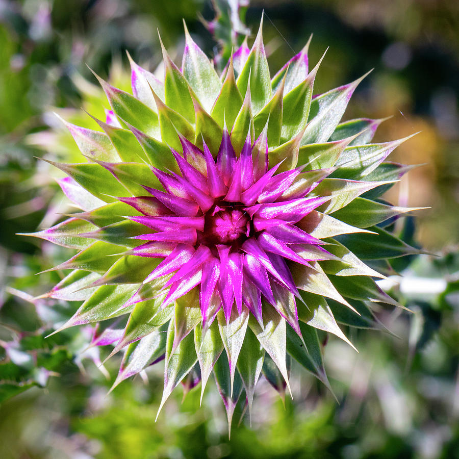 Blooming Thistle 2 by Michael Chatt