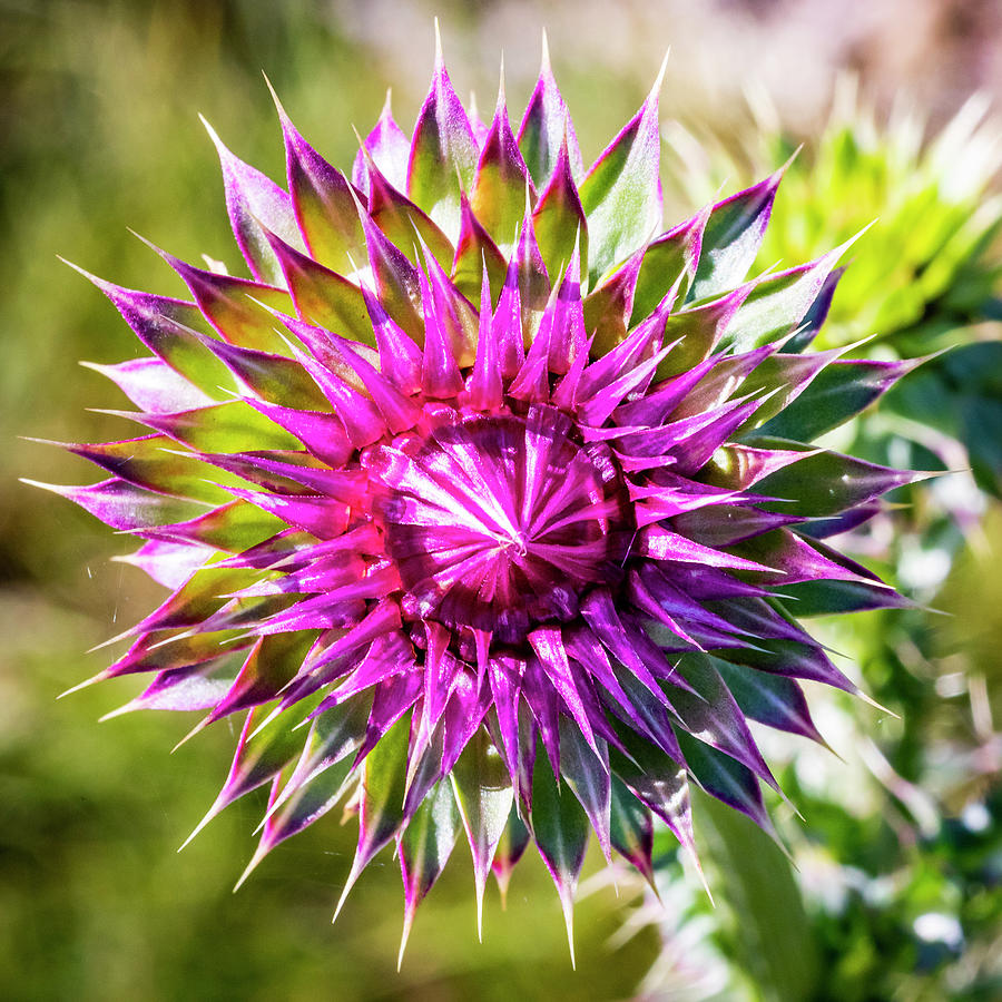 Blooming Thistle 3 by Michael Chatt