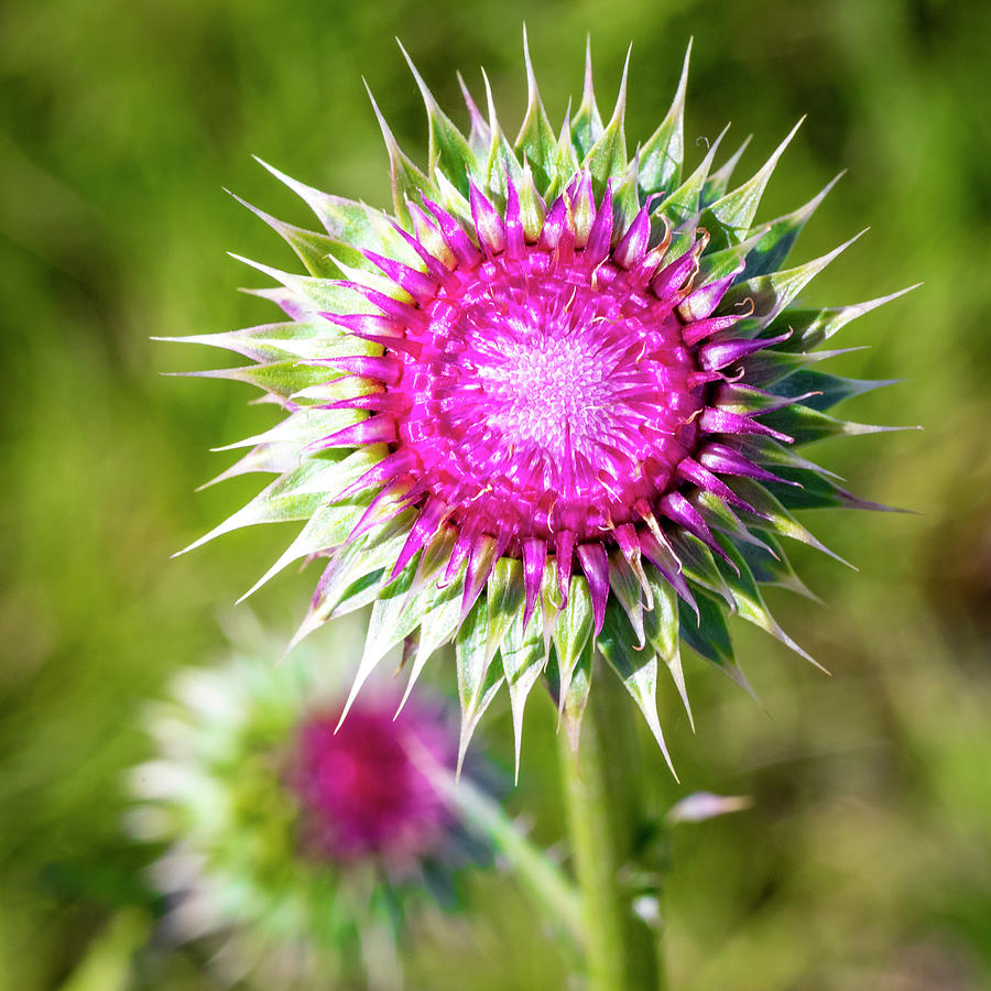 Blooming Thistle 4 by Michael Chatt