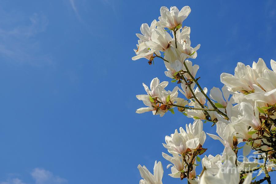 Blooming white magnolia. Spring by Marina Usmanskaya