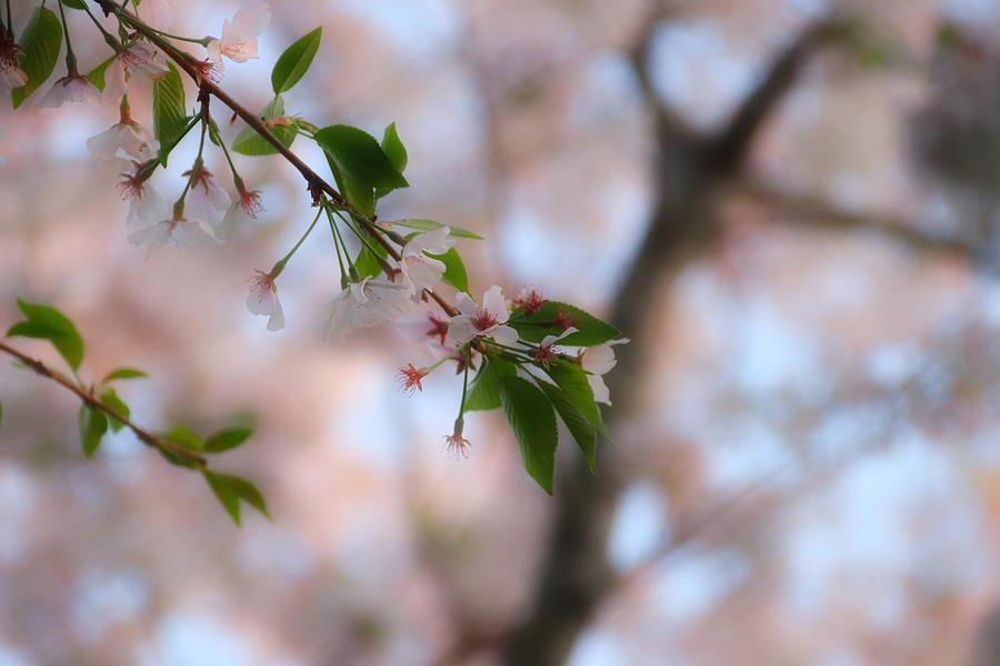 Blossom by Linda James