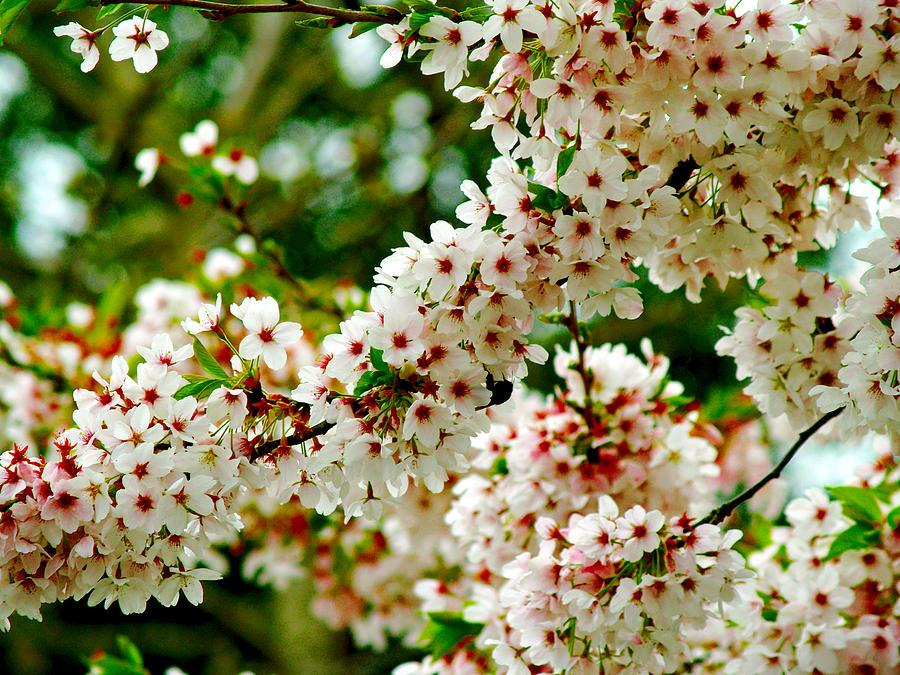 Blossom tree by Luc Van de Steeg