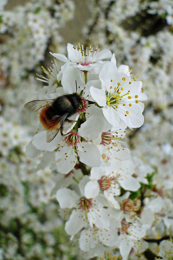 Blossoming Bee by Darren Weeks