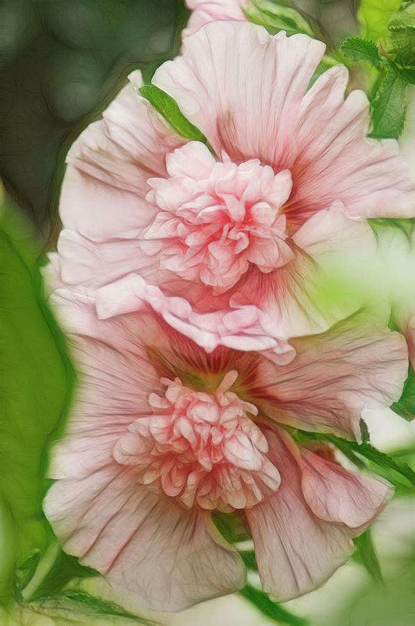 Rockville Photograph - Blossoming Hollyhock Flowers In A by Maria Mosolova
