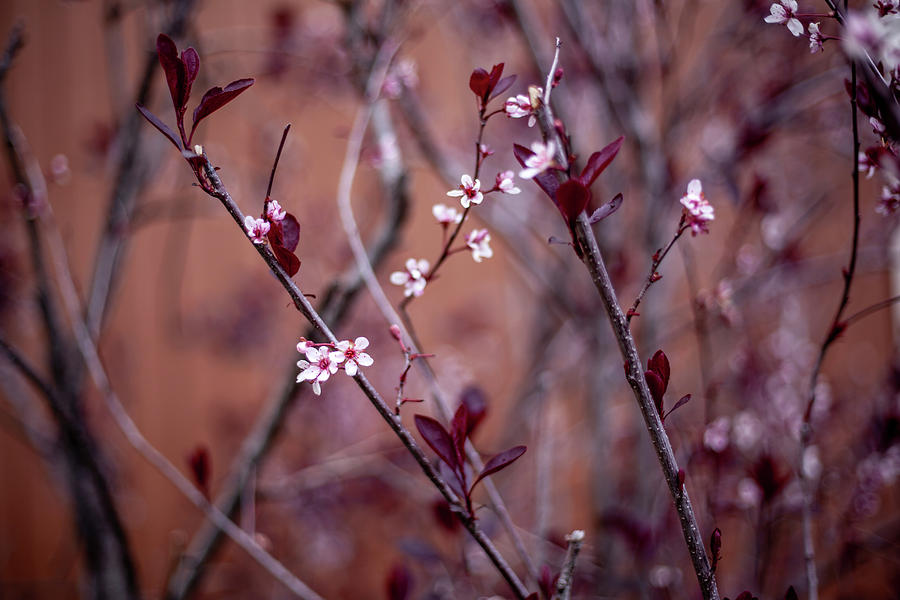 Blossoming Purple Leaf Sand Cherry by Jeanette Fellows