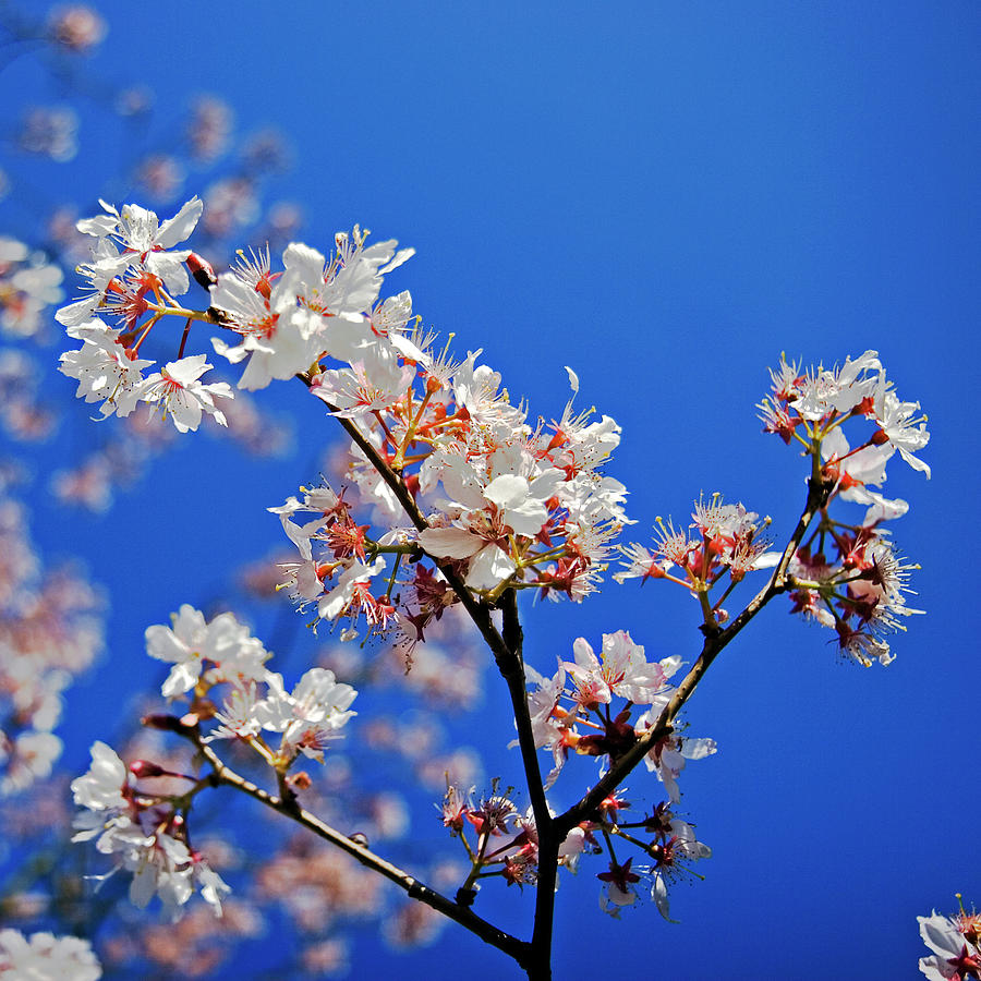 Blossoms Against Blue Sky Photograph by Kees Smans