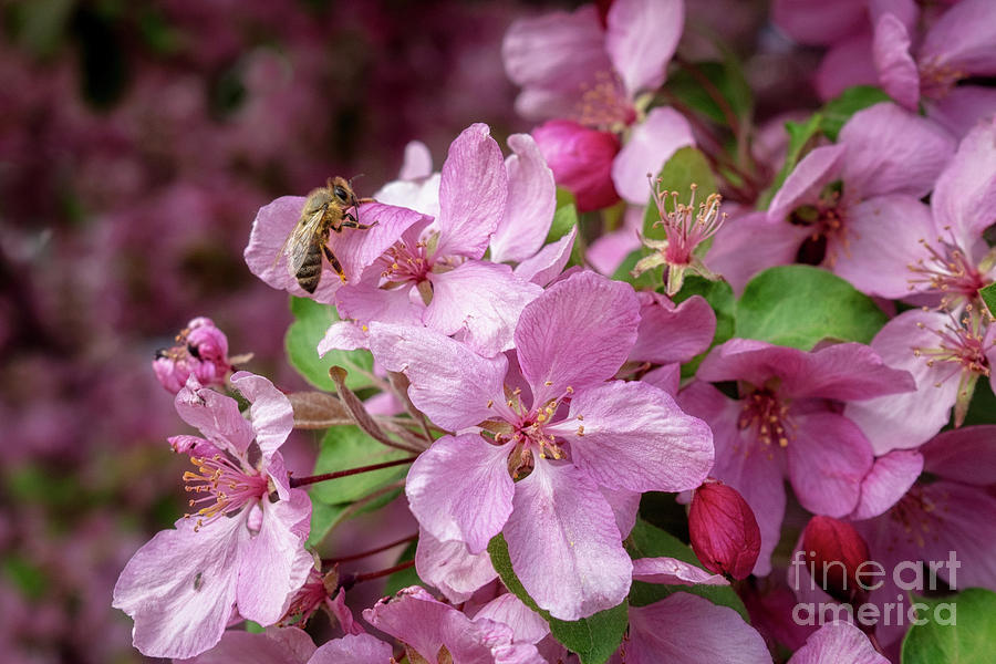 Blossoms and Honey Bee by Roxie Crouch