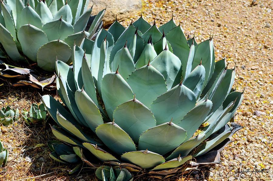 Blue Agave Cactus Photograph By Elizabeth Abbott