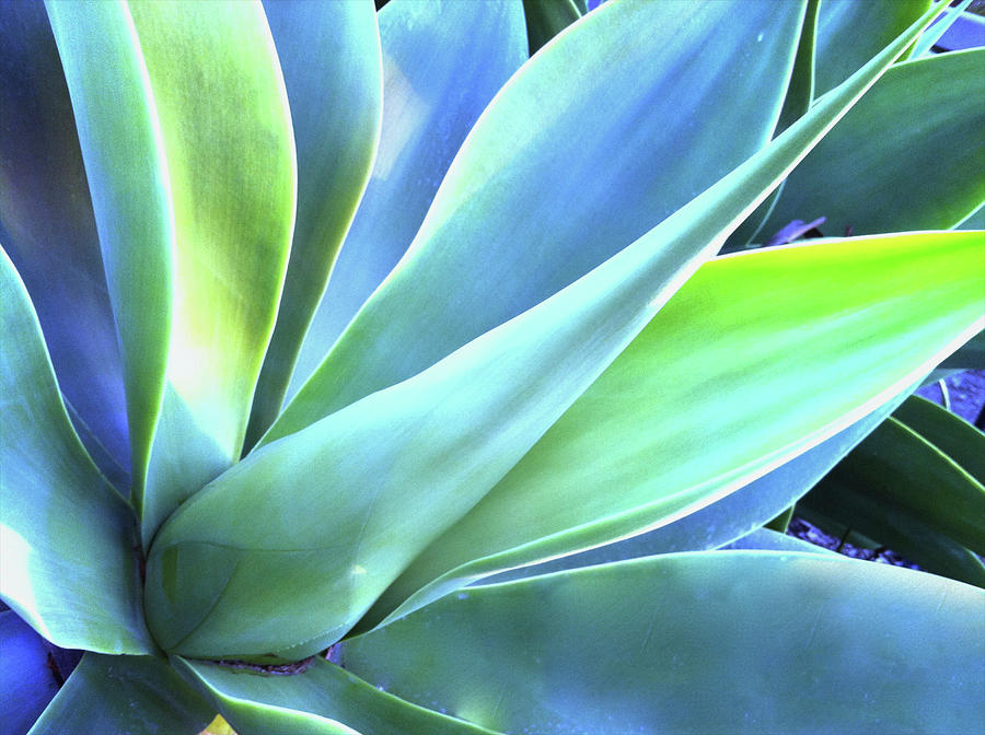 Blue Agave Photograph by Denise Taylor